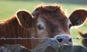 Ausbeutung von Kühen, Kälbern und Ochsen