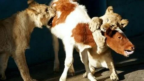 calf-eaten-by-tigers