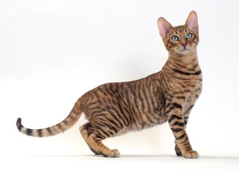 Adopt A Toyger Cat