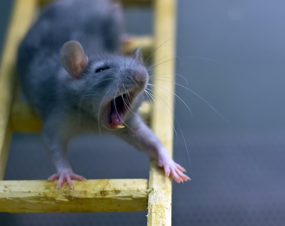 Image result for angry rat