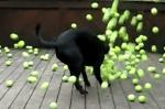ボール好きのラブラドールに300個のテニスボール