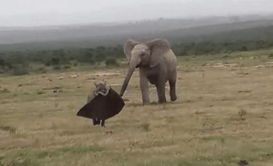 ぞうの耳を咥えるハイエナ、それを見て怒るゾウ