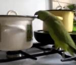 鍋の中の食べ物を狙う、空腹なオウム