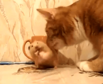 猫がちっとも怖くないハムスター