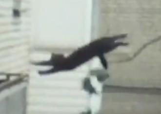 ネコ、細い枝からの難易度の高いジャンプ
