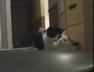 トレッドミルに猫パンチして遊ぶ2匹のネコの面白映像