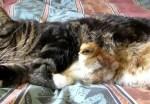 ネコになついたヒヨコ