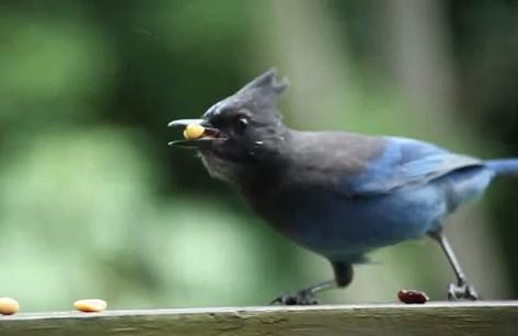 ピーナッツを食べる鳥(ゲーム風)