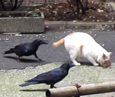ネコが食べていた缶詰を横取りするカラス