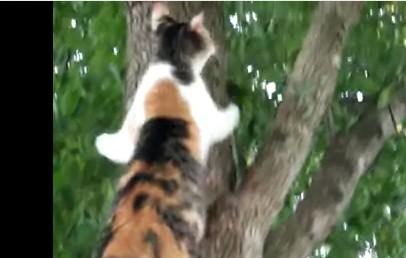 木から降りられなくなった子猫を救助しに向かう母猫