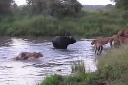 アフリカ水牛 vs. ライオン カバも登場
