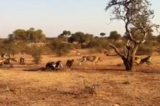 獲物を奪い合う一頭のライオンとハイエナの群れ