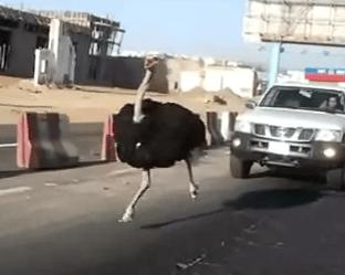 自動車の往来が激しい道路を疾走するダチョウ