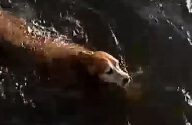 川に流されたゴールデンレトリーバー、救助されて飼い主と再会
