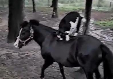 馬の背中の上に乗るヤギ、ロデオ状態に