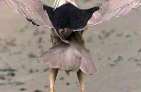 羽ばたくゴイサギ、スローモーション映像