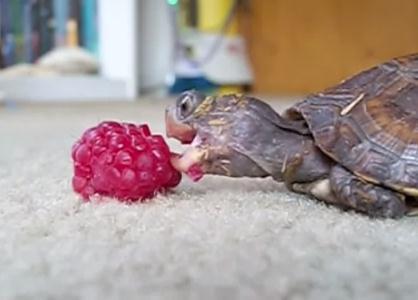 ラズベリーを食べるアメリカハコガメの赤ちゃん