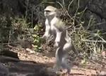 二足歩行する猿発見!