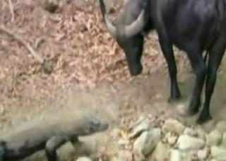 水牛 vs. コモドドラゴン(コモドオオトカゲ)