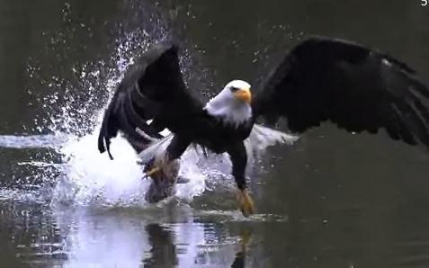 白頭鷲が魚を捕まえる瞬間のスローモーション映像