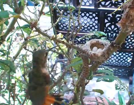 トカゲから卵を守るアレンハチドリ