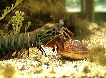 打撃でアサリの貝殻を破壊するエビ(マンティス·シュリンプ)