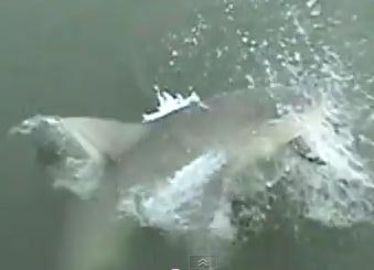 釣った魚をサメに食べられる瞬間の映像