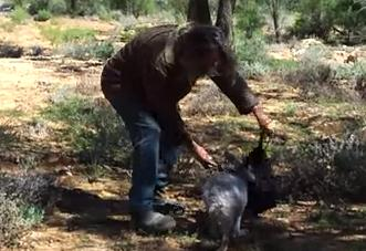カンガルーを簡単に捕まえる方法