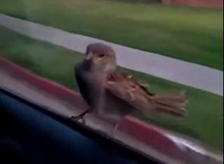 必死に車にしがみつく小さな鳥
