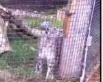 リス、雪豹に捕食される
