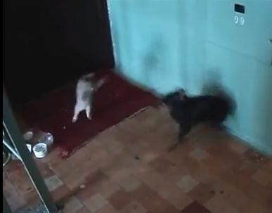 猫 vs. 犬 、猫の方が弱いかなと思ったら・・・