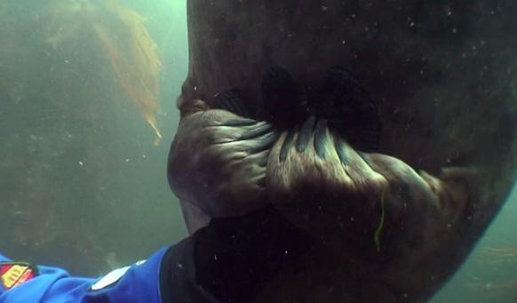 ハイイロアザラシと握手するダイバー