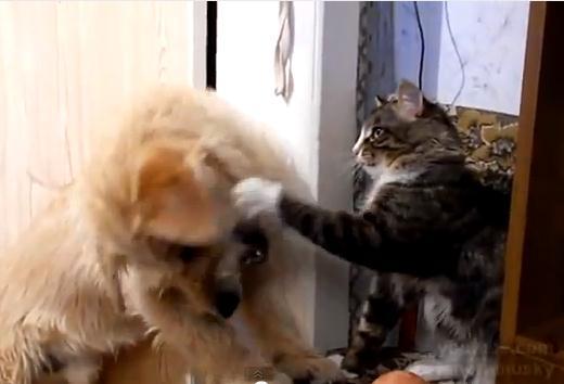 ハンバーガーを食べるためにネコと戦うワンコ