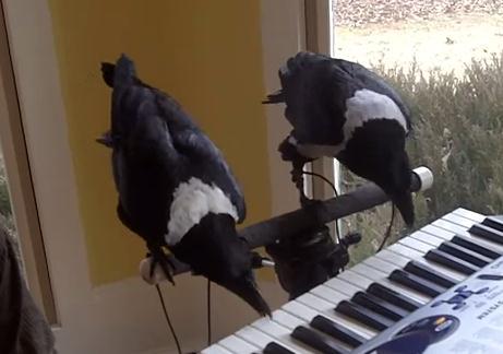 ピアノを演奏する2羽のカラス