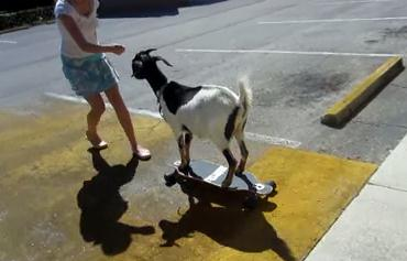 スケボーに乗るヤギ