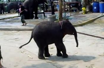 オナラしながら歩くゾウの赤ちゃん
