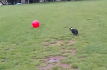 ボール遊びで弾けるボストンテリア
