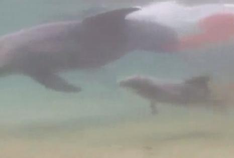 イルカ 出産の瞬間の映像