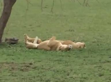 シマウマの視線の先には…ひっくり返って眠るライオン