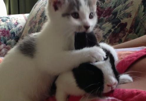 猫がウサギの耳掃除