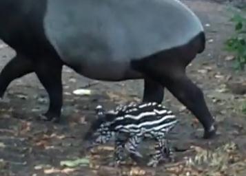 マレーバクの赤ちゃん