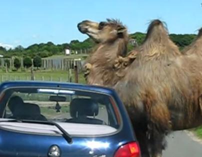 痒いラクダは自動車を利用して体を掻く