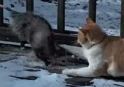 オポッサム vs. 猫