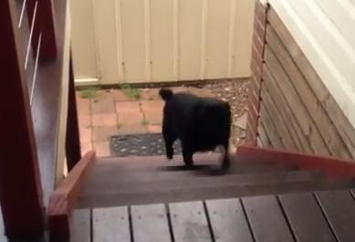黒パグの笑える階段登り