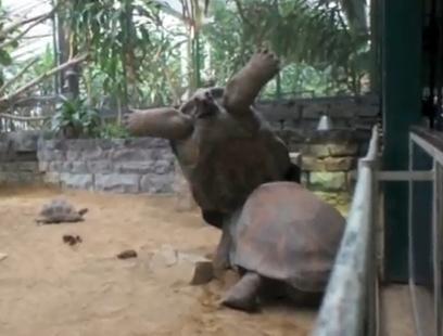 ゾウガメ vs. ゾウガメ 押し合いで一方が裏返る