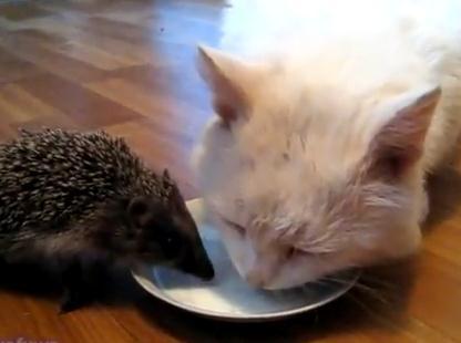 ハリネズミと一緒にミルクを飲む猫