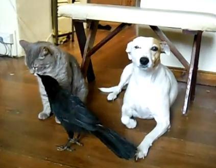 犬と猫の面倒を見るカラス