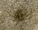 砂に姿を消すクモ