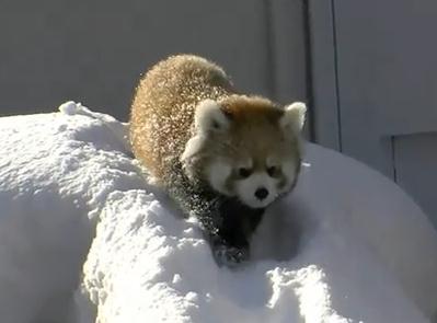 雪遊びをするレッサーパンダ