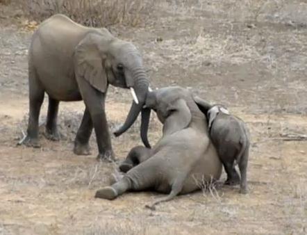 ゾウ vs. ゾウ、喧嘩はやめてと子象が近寄る